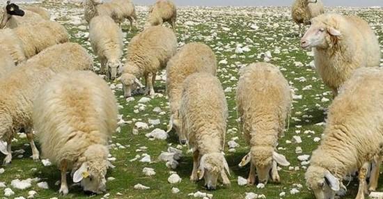 Çoban Desteği Nasıl Alınır? 2021 Sürü Yöneticisi Desteği Şartları