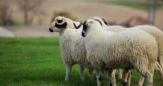 Ziraat Bankası Faizsiz 50 Koyun Kredisi 2021 Şartları