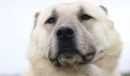 Kangal Yetiştiriciliği 2021 Kangal Köpek Çiftliği Karlı Mıdır?