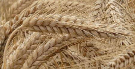 Buğday Ne Kadar Para Kazandırır? Maliyet Hesaplama