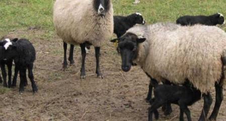 Koyun Kaç Ayda Doğurur? (10 Koyun 10 Yılda Kaç Koyun Yapar)